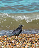 Crow on the beach Royalty Free Stock Photos