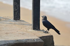 Crow in a Beach. A crow at a beach in Sri Lanka Royalty Free Stock Image