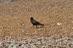 Crow on the beach Royalty Free Stock Photography
