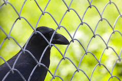 Crow behind wire Stock Images