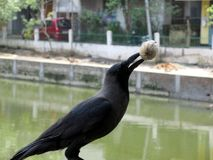 Crow with Betel nut Stock Photo