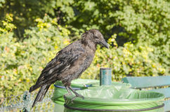 Crow in a bin Royalty Free Stock Images