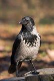 Crow bird stock photo