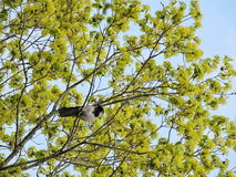 Crow bird Royalty Free Stock Photography