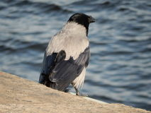 Crow. Bird crow on the embankment of the river Neva in St. Petersburg in Russia Royalty Free Stock Image