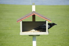 Crow and Bird Feeder Royalty Free Stock Photos