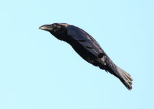 Crow bird in flight Royalty Free Stock Photo