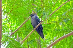 The black Crow royalty free stock photos
