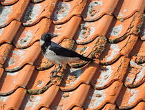 Crow bird, Lithuania Royalty Free Stock Photography