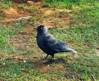 Crow in Richmond Park royalty free stock image