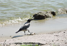 Crow bird near water. One cow bird near the water, Lithuania Royalty Free Stock Photo