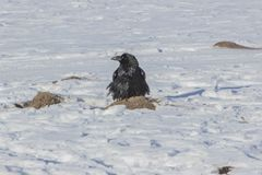 Crow bird with nest on Lake Khovsgol frozen in winter at Mongolia Royalty Free Stock Image