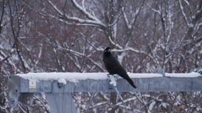 Crow bird perching on pole in winter season.  stock video footage