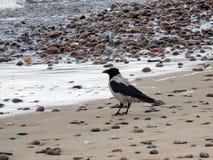 Crow bird on sea coast Royalty Free Stock Photography