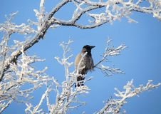 Crow bird on snowy tree branch, Lithuania stock images