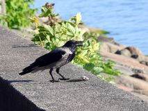Crow bird on stone near sea, Lithuania Royalty Free Stock Image