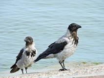 Crow birds, Lithuania Stock Image