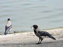 Crow birds near water Stock Photo