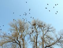 Crow birds and nests in tree, Lithuania Royalty Free Stock Photos