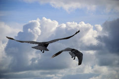 Crow Black Sky Stock Photo