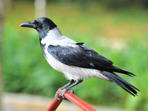 Crow black & white. A black and white coloured crow Royalty Free Stock Image