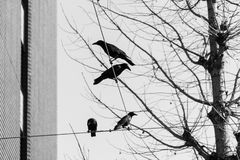 Crow , Black and white Royalty Free Stock Photography