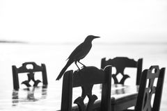 Crow on Black Wooden Chair during Daytime Close Up Photography Royalty Free Stock Photos