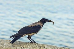 Crow with bone in beak Royalty Free Stock Photography