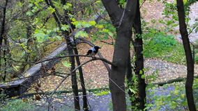 Crow on a branch cleans a beak stock video