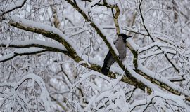 Crow on a branch after a heavy snowfall stock photography