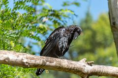 Crow on a branch looking down stock photography