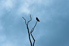 Crow On Branch Looking Right Silhouette. A crow sitting on a tree branch silhouetted against cloudy dark blue sky looking right Royalty Free Stock Images