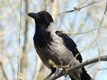 A crow on a branch Royalty Free Stock Photography