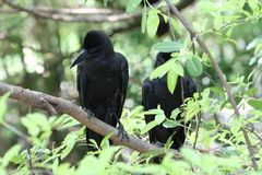 Crow. In branches of tree Stock Photography
