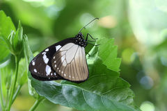 Crow Butterfly Stock Photos
