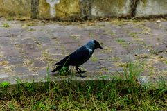 Crow On A Sidewalk - Turkey Royalty Free Stock Photo