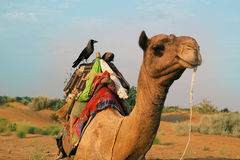 Crow On Camel Stock Image