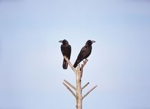 Crow and Cane Royalty Free Stock Photography