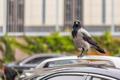 Crow on car roof. Bird sitting on car at city street. Sign or omen for superstitious people.  royalty free stock image