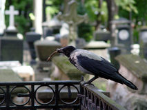 Crow at the cemetery. Crow sitting at the cemetery stock images