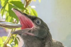 Crow chickens on the background of a blooming balcony and grapes,spring background. sitting with his mouth open and fed him with a. Small spoon stock image