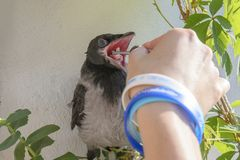 Crow chickens on the background of a blooming balcony and grapes,spring background. sitting with his mouth open and fed him the me. At with tweezers stock images