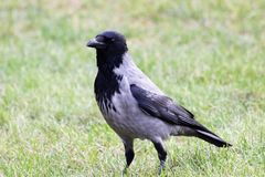 Crow in the city park stock photo