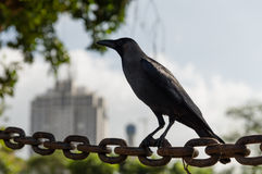 Crow in a City Stock Photo