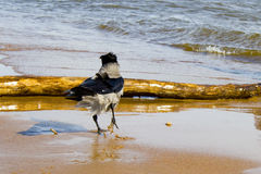 Crow on the coast Royalty Free Stock Images
