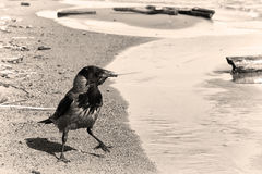 Crow on the coast Royalty Free Stock Image