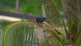 A crow on a coconut palm. Eats a fruit stock video footage