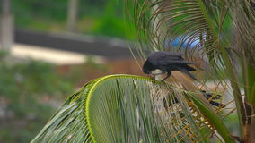 A crow on a coconut palm. Eats a fruit stock footage