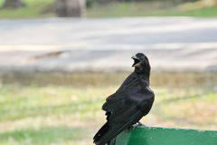Crow. The crow is color black creative nature and  so beautiful Royalty Free Stock Photo