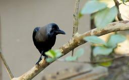 Crow-1 comum imagens de stock royalty free